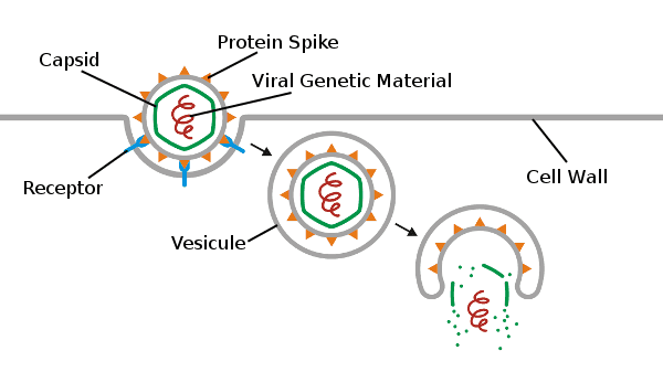 Vesicule, Protein Spike, Capsid, Viral Genetic Material, Receptor, Cell Wall
