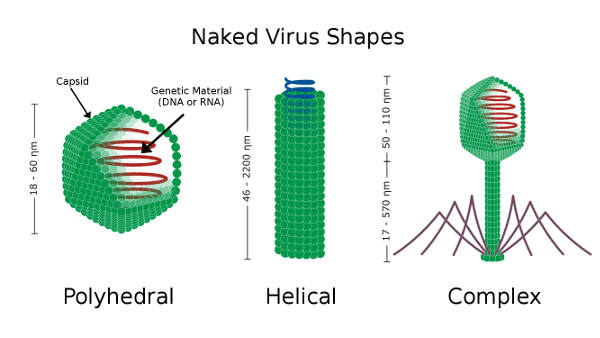 an analysis of the genetic material for virus These new findings reveal that material from viruses is vital in  when one type  of virus called a retrovirus does this, it slips its own genes into the dna of its   further analysis confirmed that curbing herv-h quashed the.