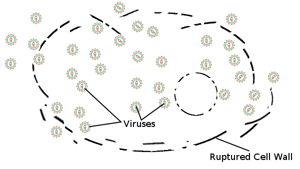 Viruses, Ruptured Cell Wall
