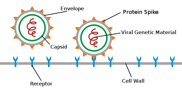 Envelope, Protein Spike, Capsid, Viral Genetic Material, Receptor, Cell Wall