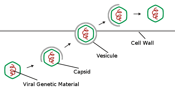 Viral Genetic Material, Capsid, Vesicule, Cell Wall
