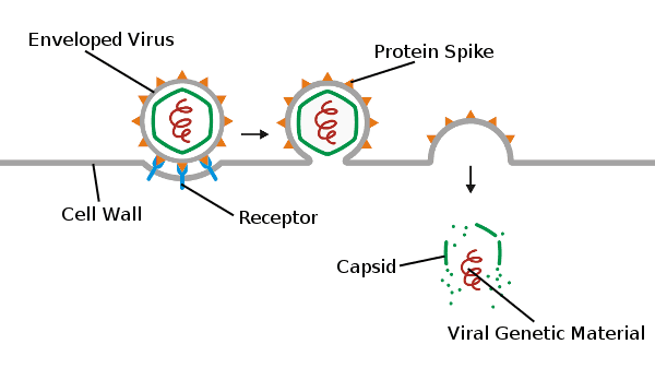 Enveloped Virus, Protein Spike, Capsid, Viral Genetic Material, Receptor, Cell Wall