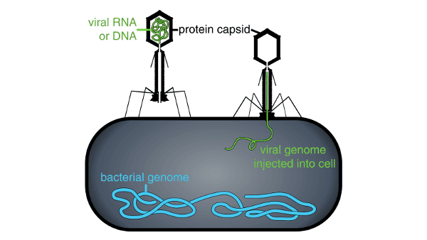 viral RNA or DNA, protein capsid, viral genome injected into cell, bacterial genome