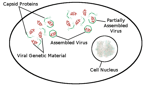 Capsid Proteins, Assembled Virus, Viral Genetic Material, Partially Assembled Virus, Cell Nucleus